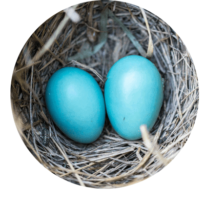 nest with 2 blue eggs