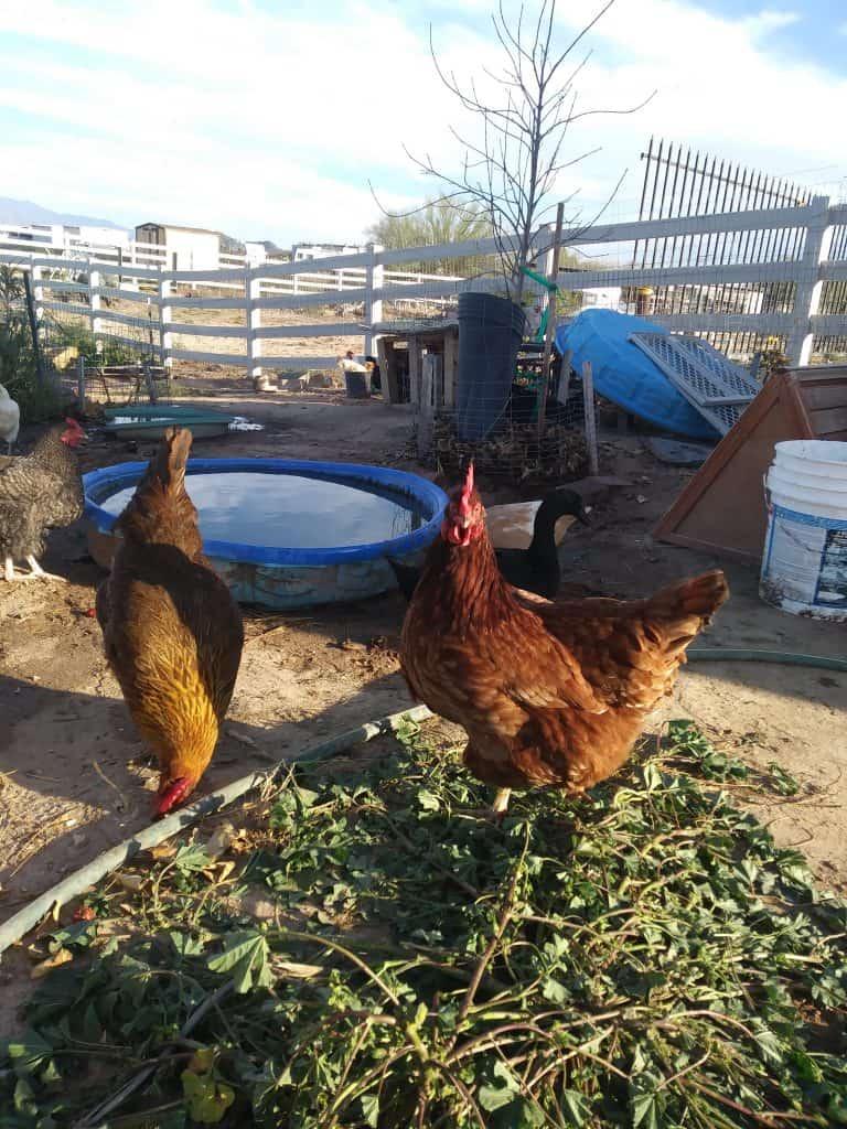 Farm Fresh Eggs in Buckeye AZ